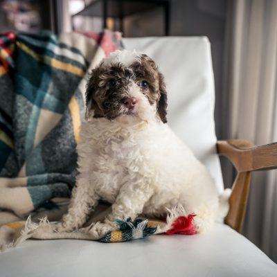 Posie!- female Mini Portidoodle pup for sale near Sugarcreek, Ohio