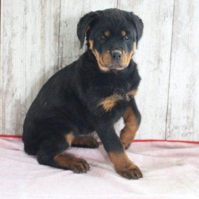 Tori - AKC Rottweiler pupper for sale in Shipshewana, Indiana