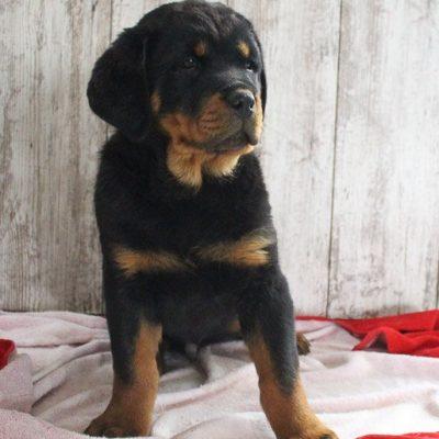 Tyler - pupper AKC Rottweiler for sale near Shipshewana, Indiana