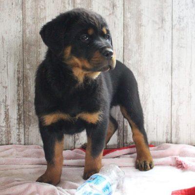 Taylor - doggie AKC Rottweiler for sale near Shipshewana, Indiana