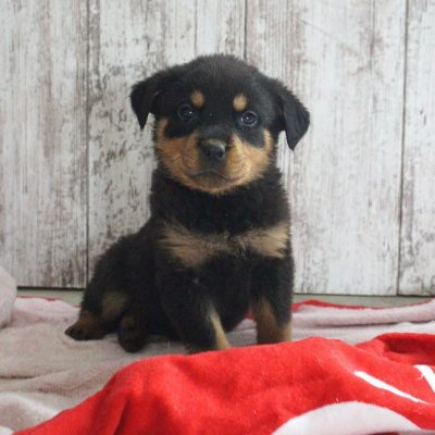 Makayla - pup AKC Rottweiler for sale at Shipshewana, Indiana