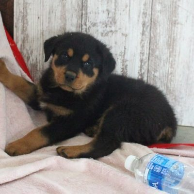 Mason - AKC Rottweiler pupper for sale in Shipshewana, Indiana