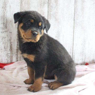 Meika - AKC female Rottweiler for sale near Shipshewana, Indiana