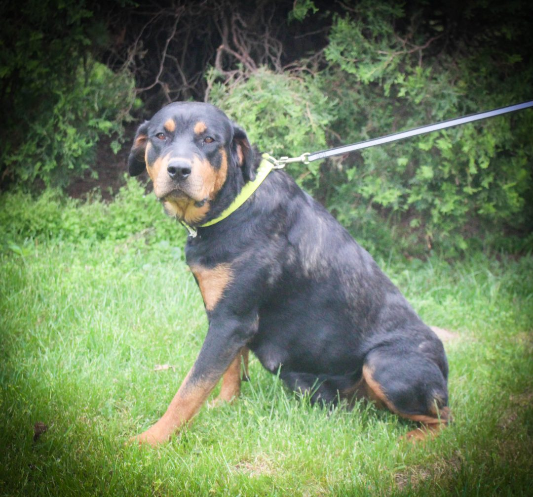 Hershey - AKC Rottweiler pup for sale in Shipshewana, Indiana