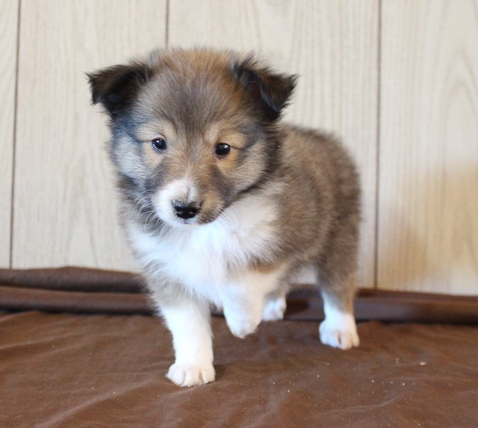 Timmy - AKC male Shetland Sheepdog pupper for sale in Grabil, Indiana