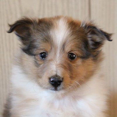 Shadow - male AKC Shetland Sheepdog puppy for sale near Grabil, Indiana