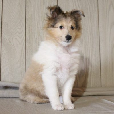 Jenny - AKC Shetland Sheepdog pupper for sale in Grabill, Indiana
