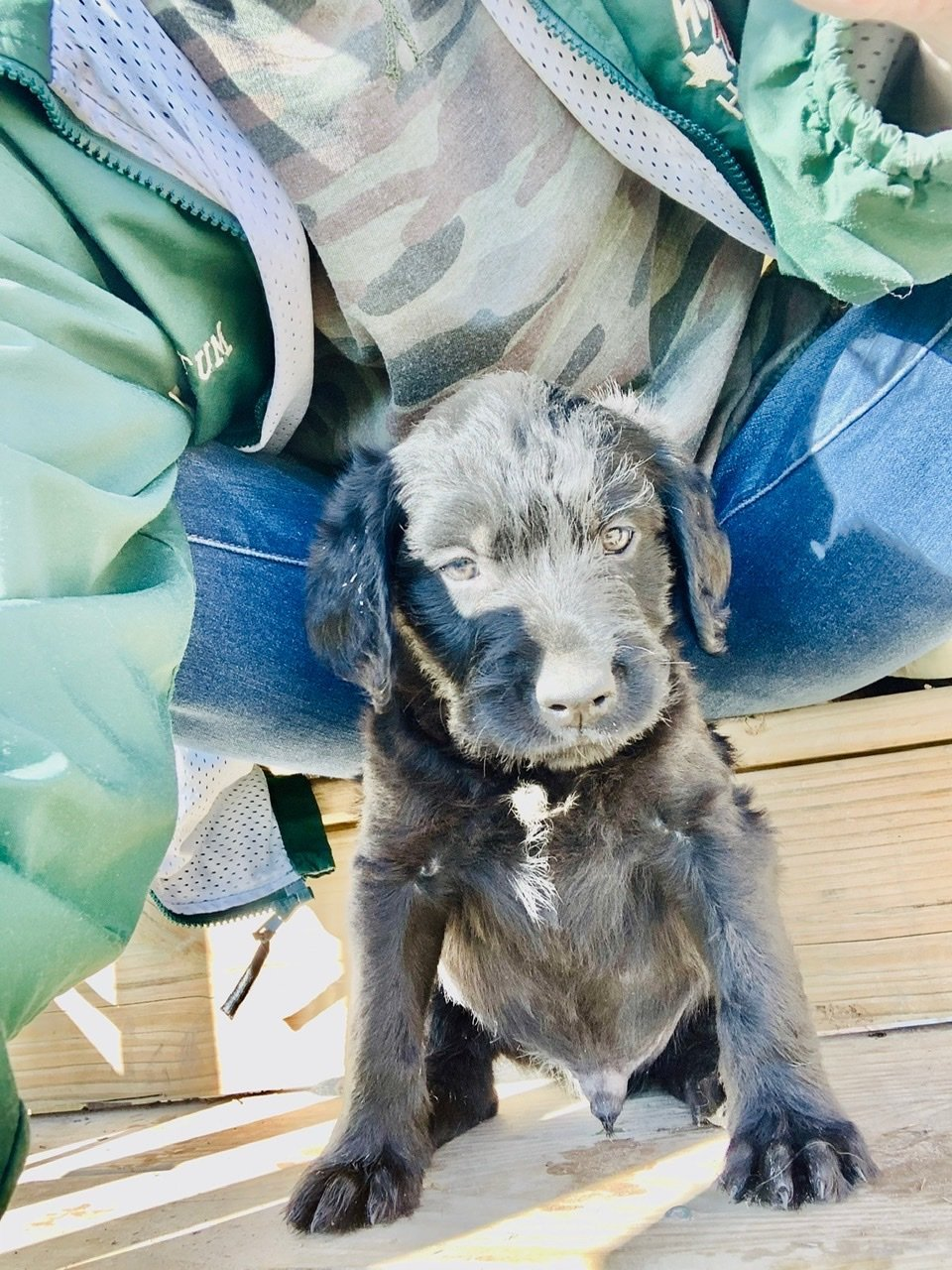 Slick - male Double Doodle puppie for sale at Waller, Texas