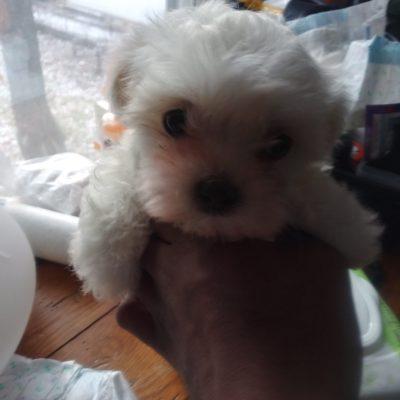 Biscuit - female AKC Coton de Tulear pup for sale near Flint, Michigan