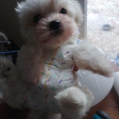 Nugget - AKC Coton de Tulear puppy for sale at Flint, Michigan