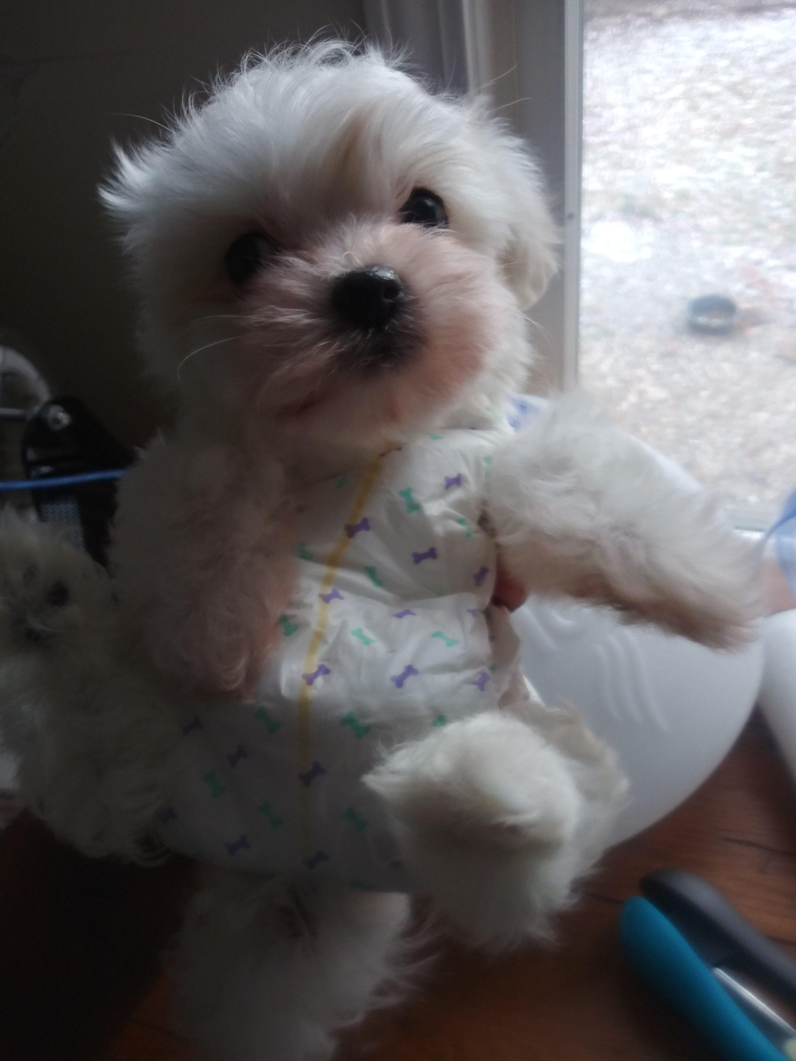 Nugget Akc Coton De Tulear Puppy For Sale At Flint Michigan