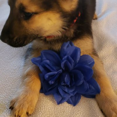 Red collar - German Shepherd puppy for sale near Dayton, Ohio