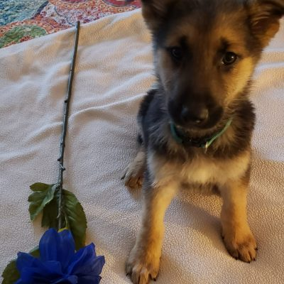 Green collar - German Shepherd pup for sale at Dayton, Ohio