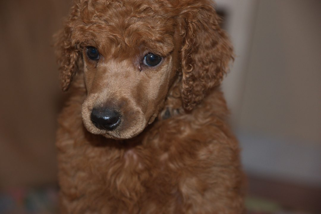 John Mayall –An AKC Male Standard Poodle puppy for sale in Clearwater, Florida