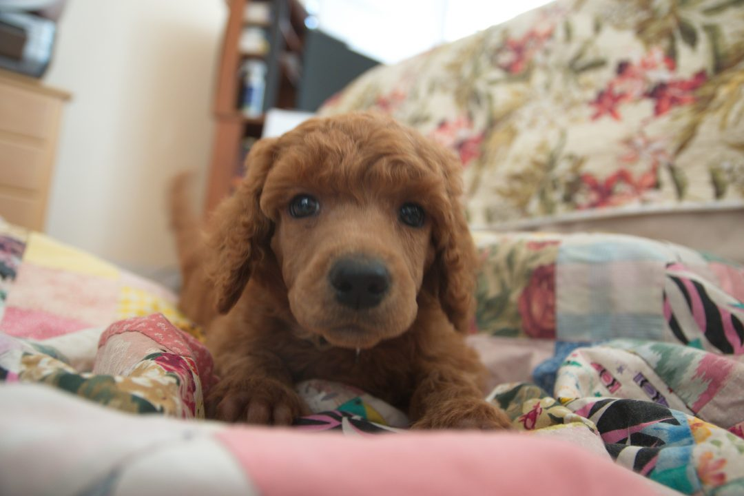 Leon Russell - AKC Standard Poodle puppy for sale in Clearwater, Florida