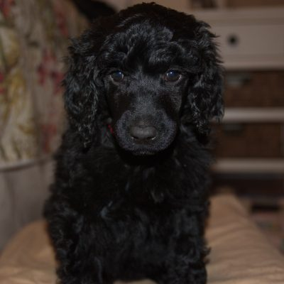 Billie Holiday - AKC Standard Poodle Puppy for sale in Clearwater, Florida (Copy)