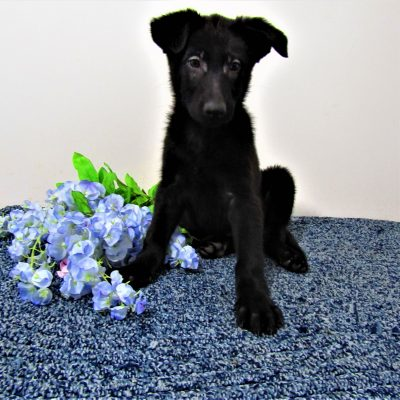 Sadie - AKC German Shepherd female doggie for sale at New Haven, Indiana