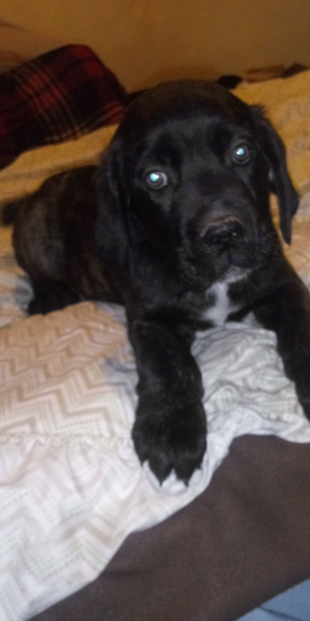 Chase - ICCF Cane Corso male puppy for sale near Cleveland, Ohio