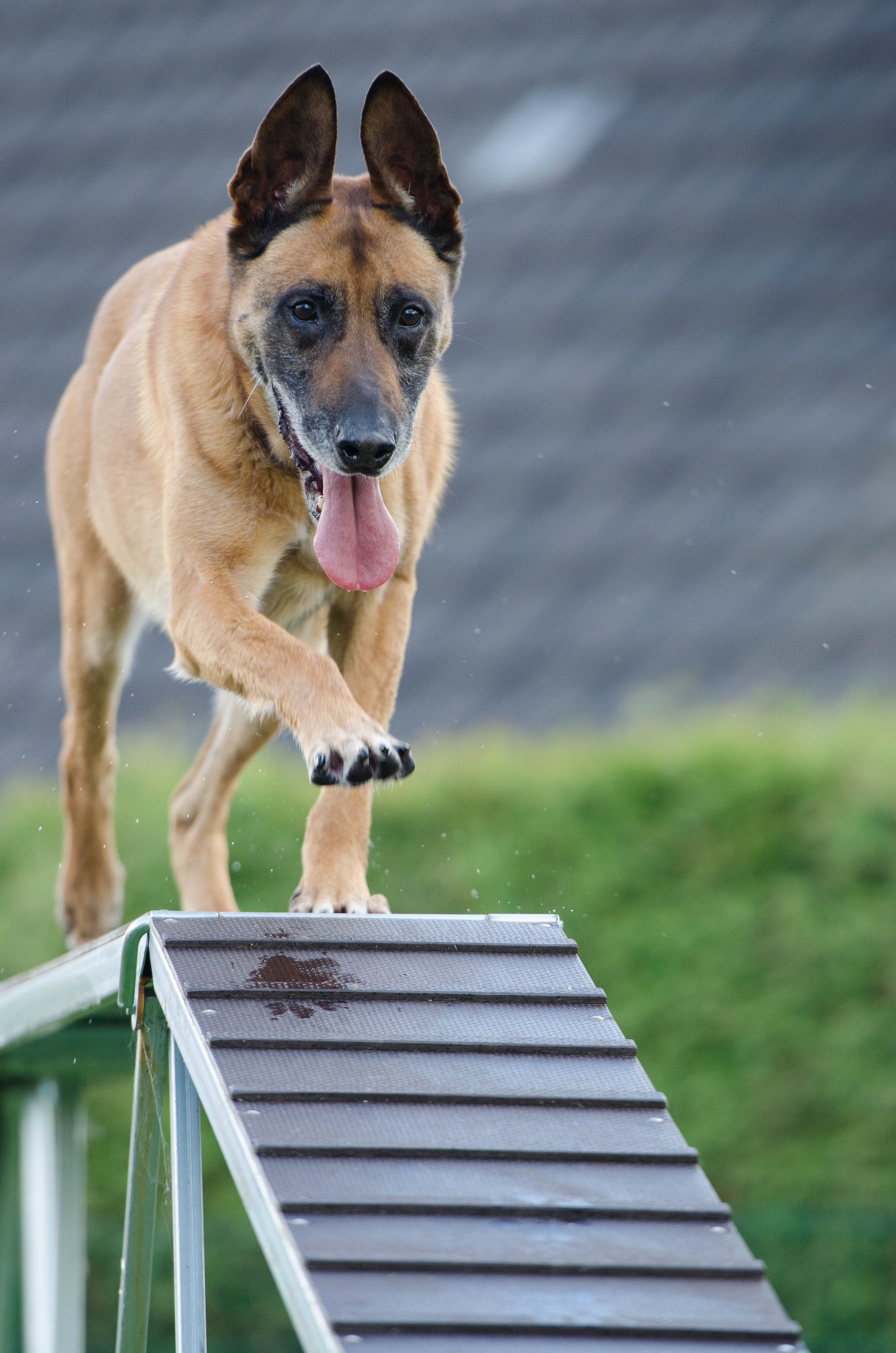 Dog climbing on a ramp learning how to be agile.