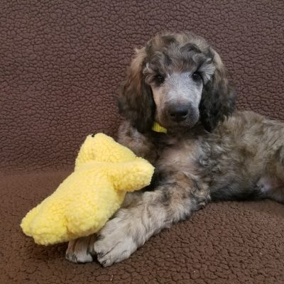 Amber - female AKC Standard Poodle pup for sale in Cranberry, Pennsylvania