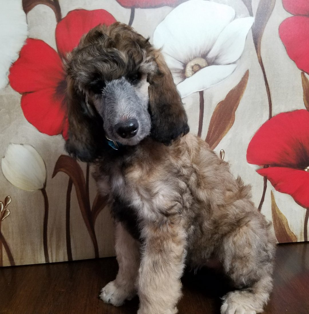 Diamond - female AKC Standard Poodle puppy for sale near Cranberry, Pennsylvania