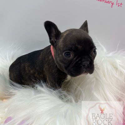 AKC Eagle Rock Exotics Chanel