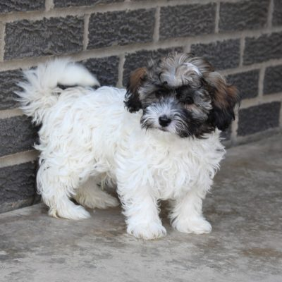 Snowball - AKC Havanese pupper for sale in Spencerville, Indiana