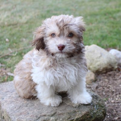 Chocolate - male AKC Havanese pup for sale at Spencerville, Indiana