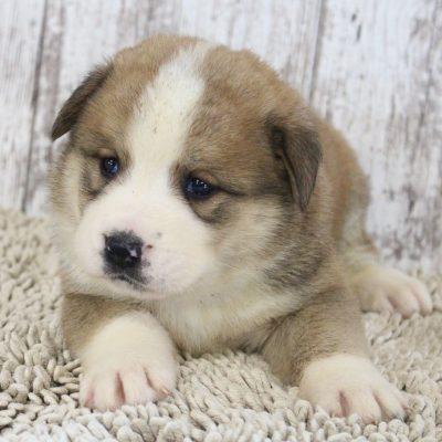 Brittney - ICA Designer Breed Large pupper for sale in Spencerville, Indiana