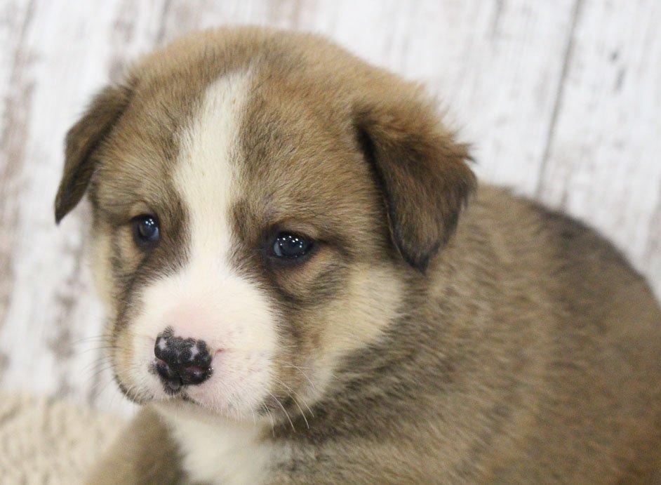 Jami - ICA Designer Breed Large puppy for sale at Spencerville, Indiana