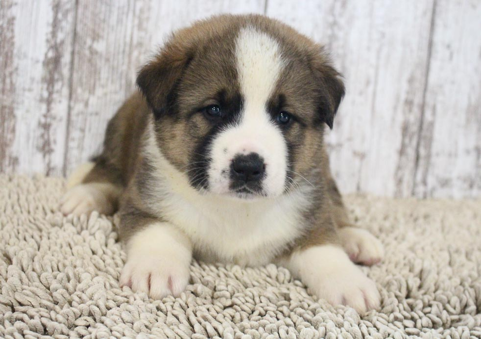 Mischief - pup ICA Designer Breed Large for sale in Spencerville, Indiana