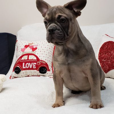 Queen - female French Bulldog doggie for sale at Stamford, Connecticut