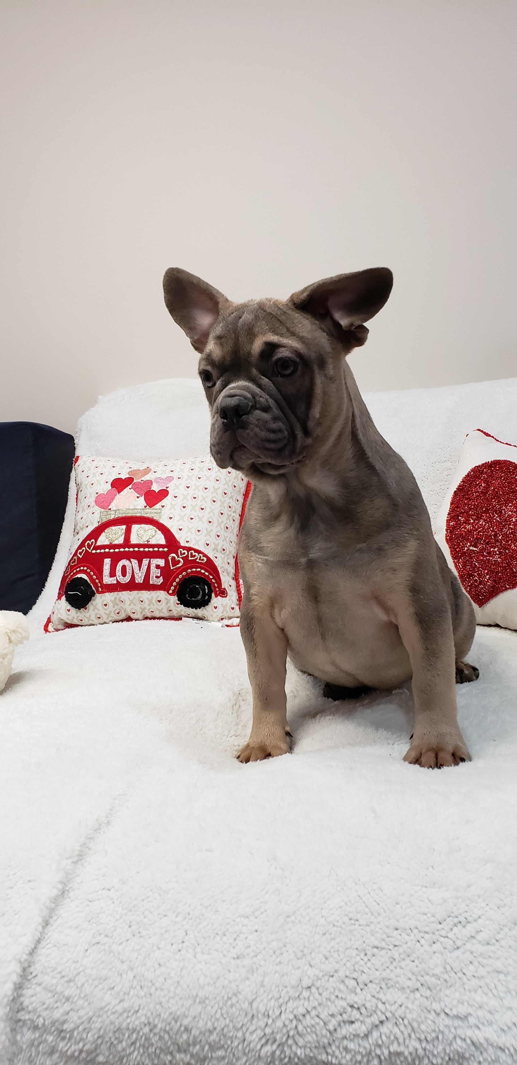Queen Female French Bulldog Doggie For Sale At Stamford Connecticut