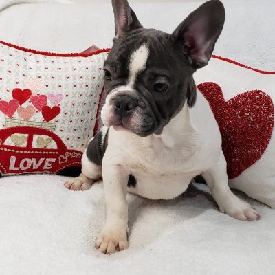 Bubba - French Bulldog pupper for sale at Stamford, Connecticut