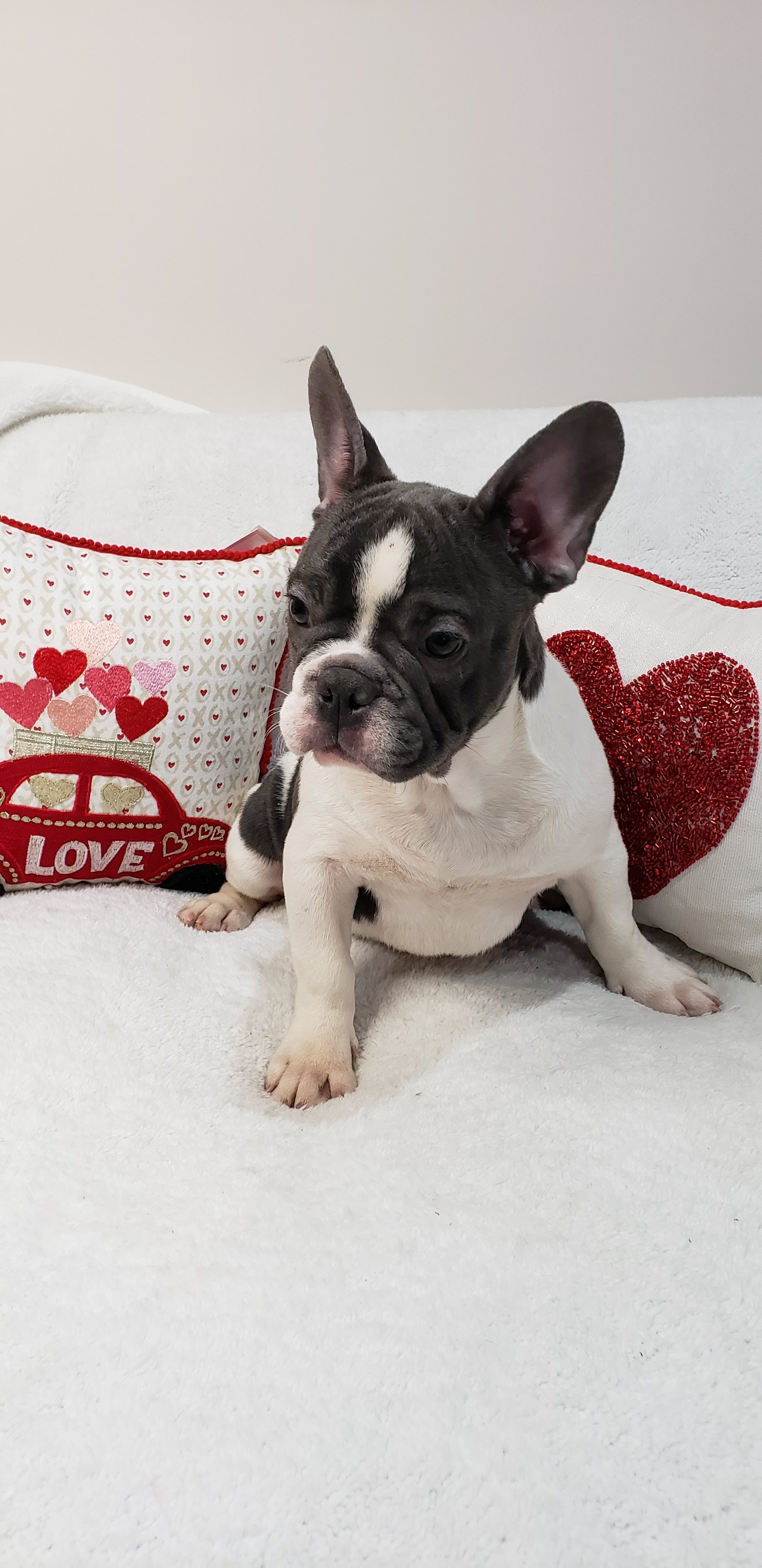 Bubba French Bulldog Pupper For Sale At Stamford Connecticut