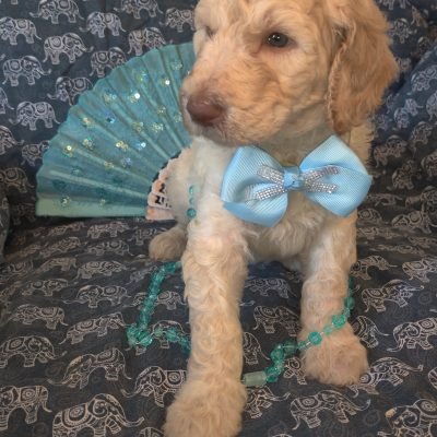 Hollywood -male AKC Standard Poodle pupper for sale in Saint Cloud, Florida