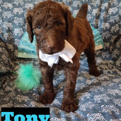 Tony - puppy AKC Standard Poodle for sale near Saint Cloud, Florida