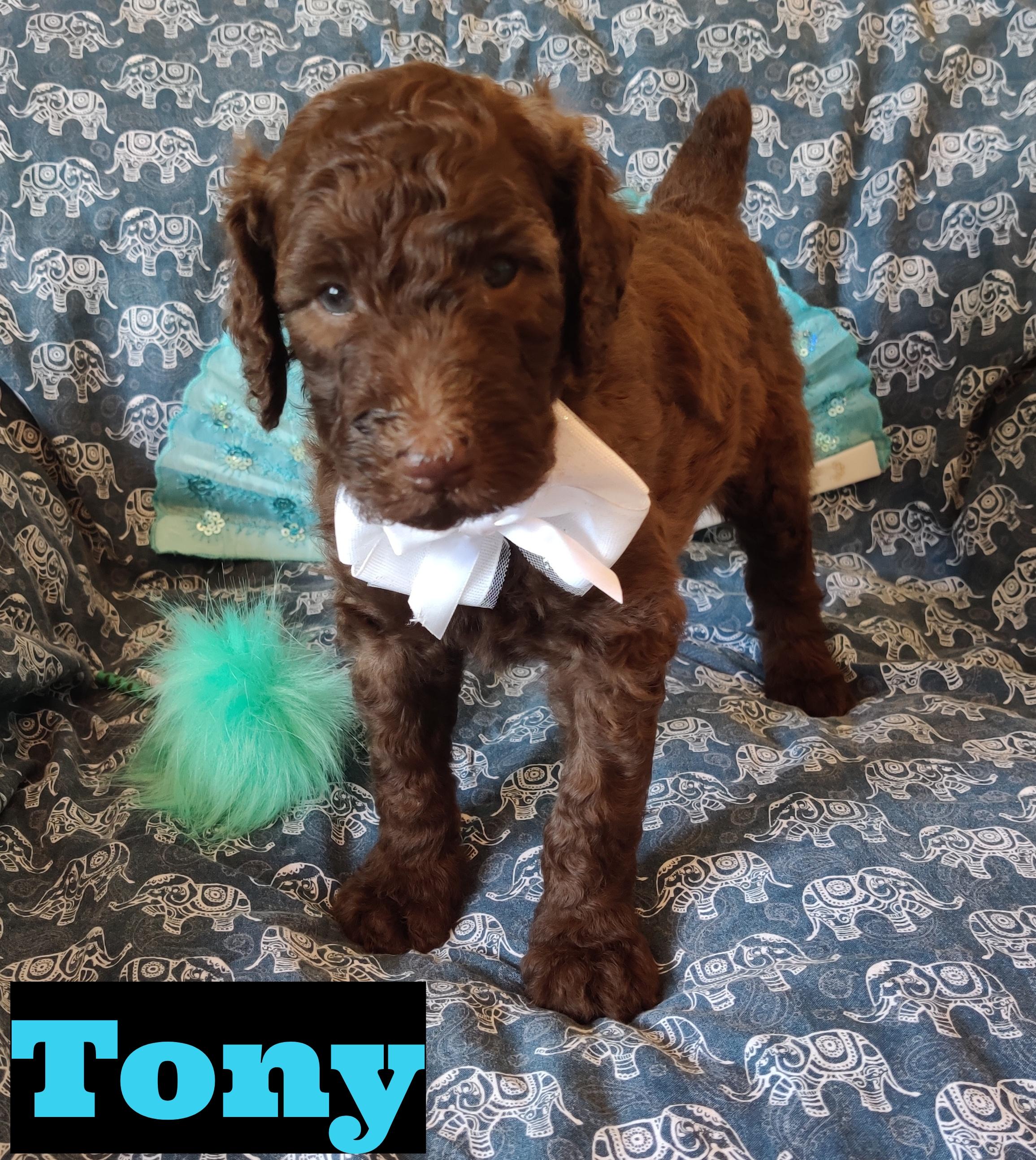 Tony Puppy Akc Standard Poodle For Sale Near Saint Cloud Florida