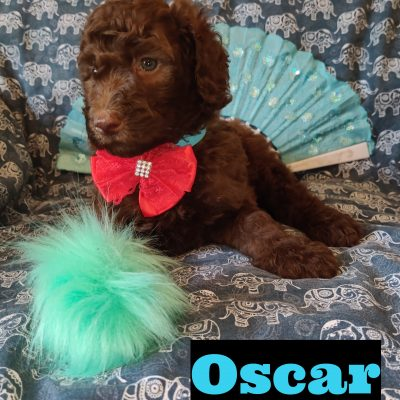 Oscar - AKC Standard Poodle puppy for sale at Saint Cloud, Florida