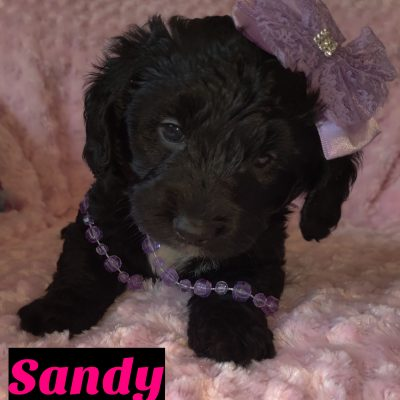 Sandy - female puppy Mini Goldendoodle for sale at Saint Cloud, Florida