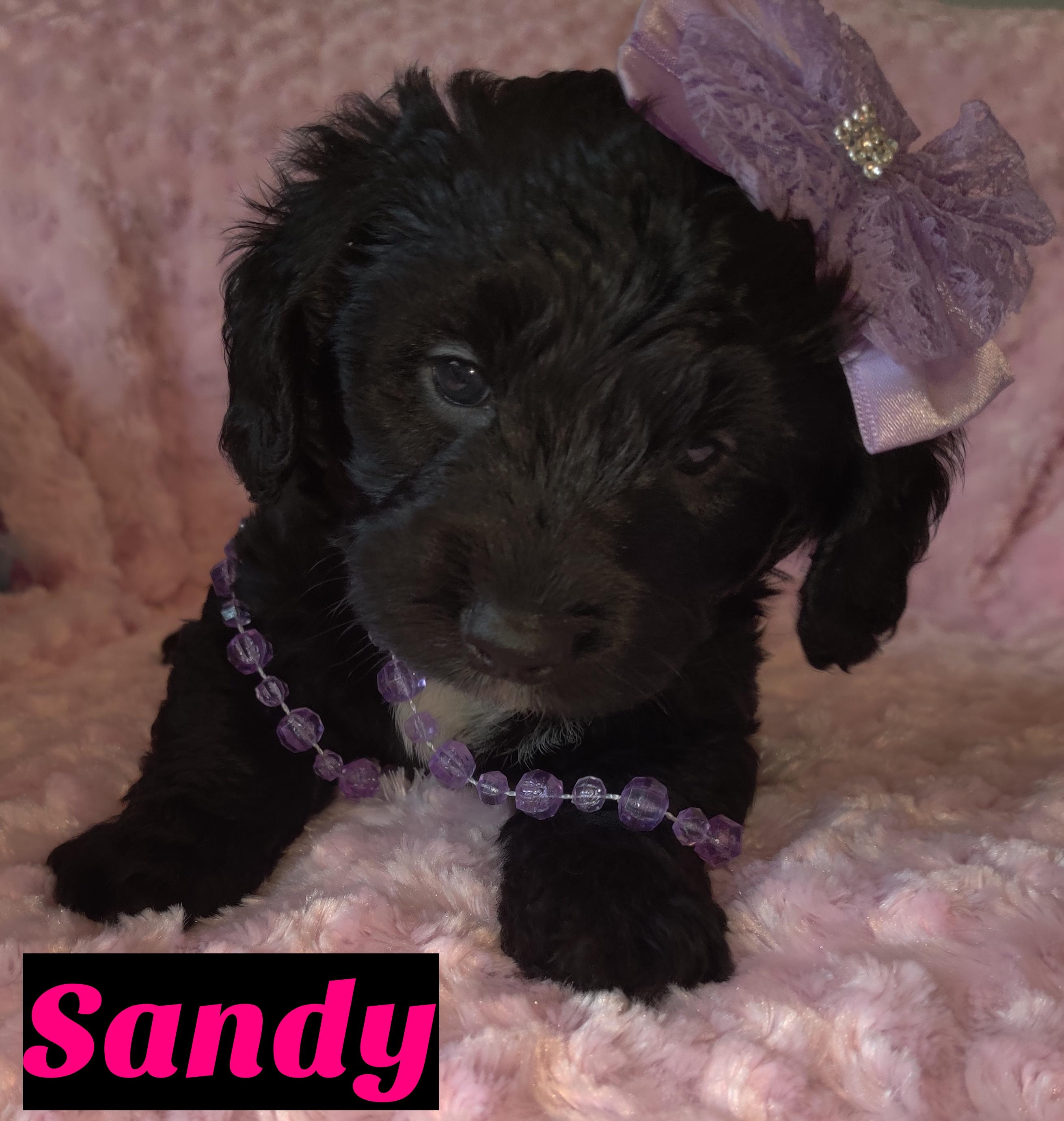 Sandy Female Puppy Mini Goldendoodle For Sale At Saint Cloud Florida