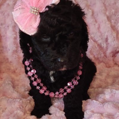 Lady - female doggie Mini Goldendoodle for sale in Saint Cloud, Florida