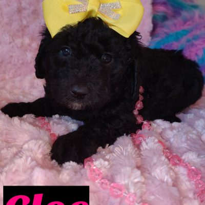 Cloe - female doggie Mini Goldendoodle for sale in Saint Cloud, Florida