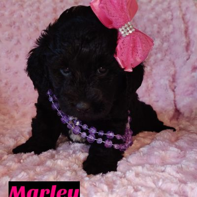 Marley- doggie Mini Goldendoodle for sale near Saint Cloud, Florida