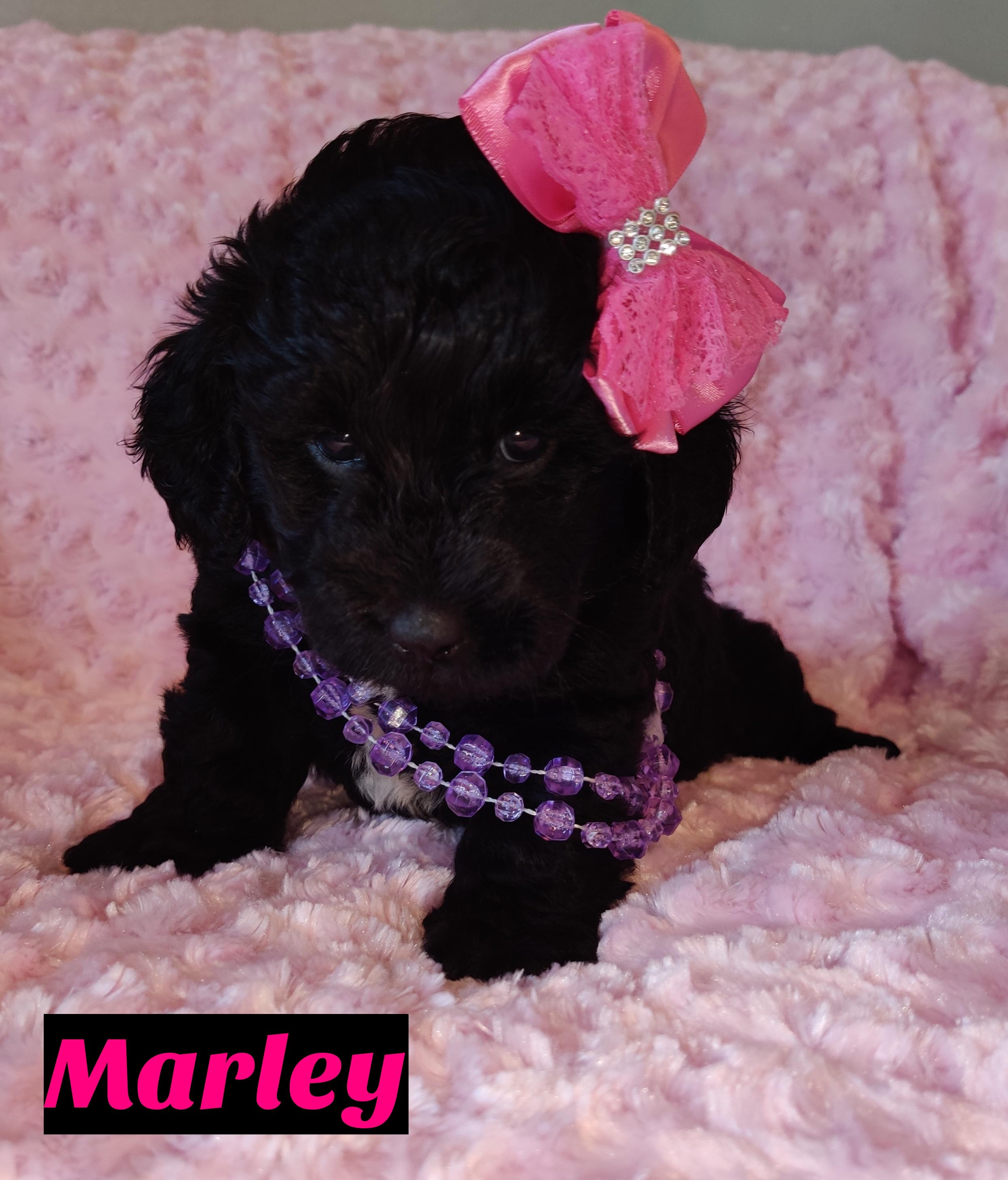 Marley Doggie Mini Goldendoodle For Sale Near Saint Cloud Florida