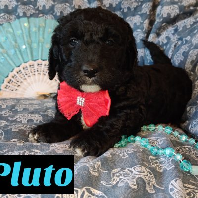 Pluto - Mini Goldendoodle puppy for sale at Saint Cloud, Florida