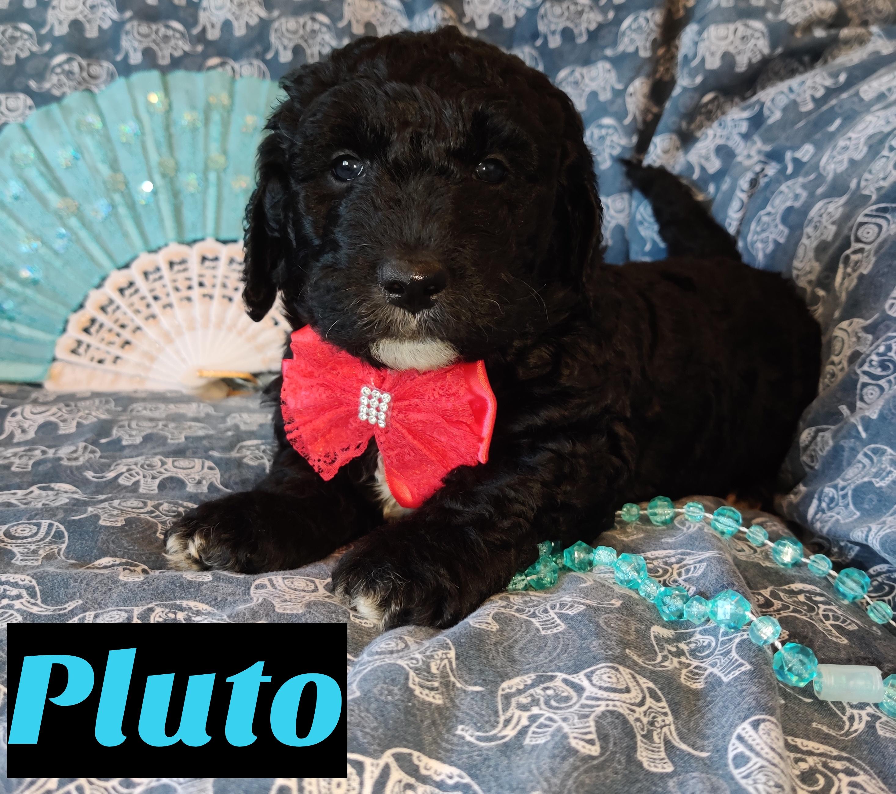 Pluto Mini Goldendoodle Puppy For Sale At Saint Cloud Florida