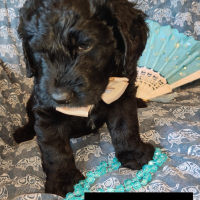 Pongo - Mini Goldendoodle pup for sale in Saint Cloud, Florida