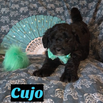 Cujo - Mini Goldendoodle pupper for sale at Saint Cloud, Florida