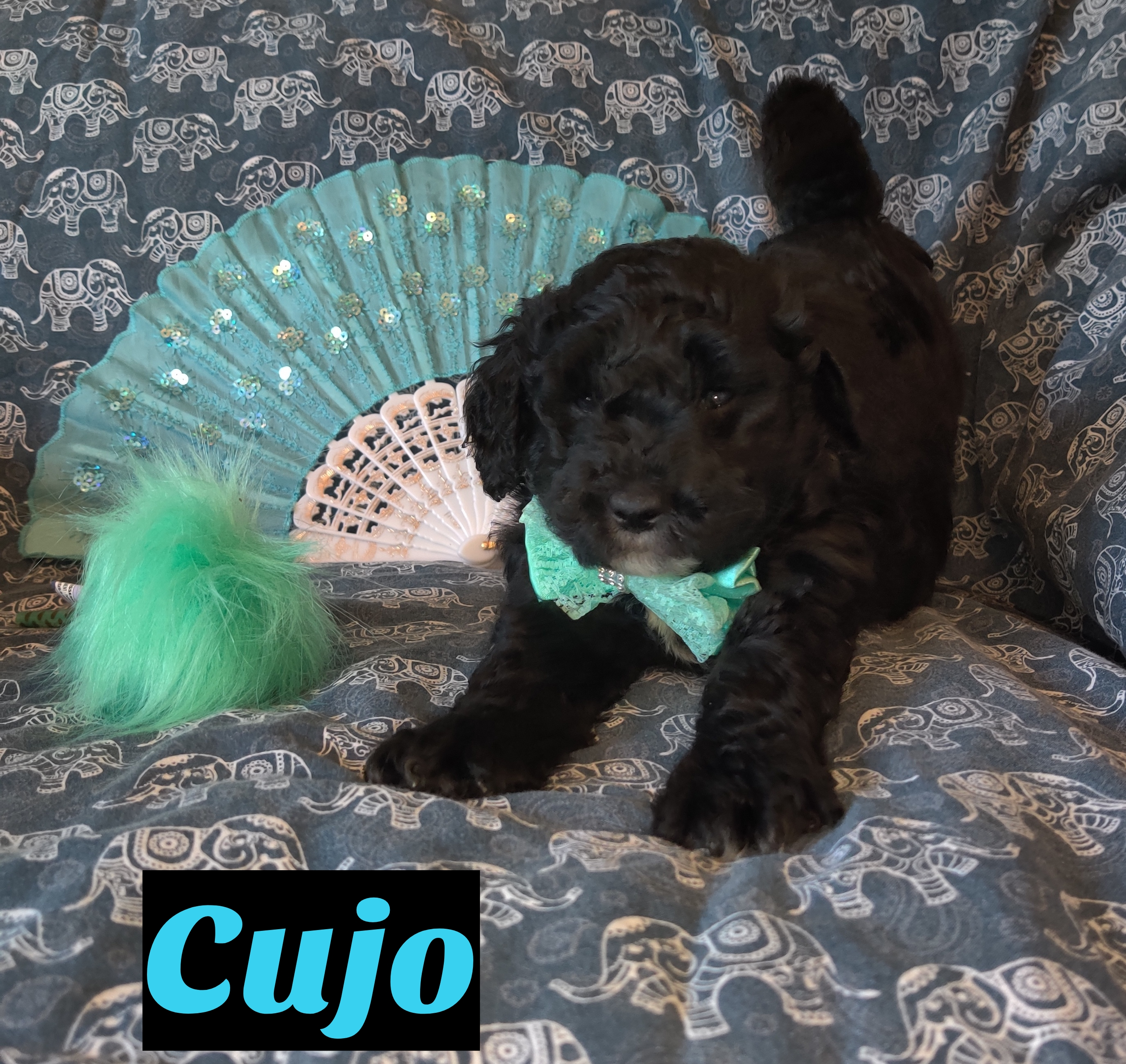 Cujo Mini Goldendoodle Pupper For Sale At Saint Cloud Florida